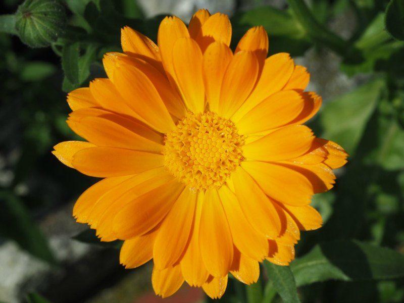 Marigolds Container Garden