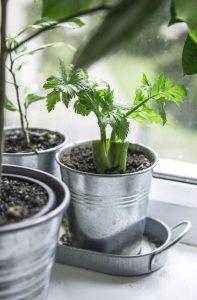 Container Vegetable Gardening Celery Stalk Kitchen