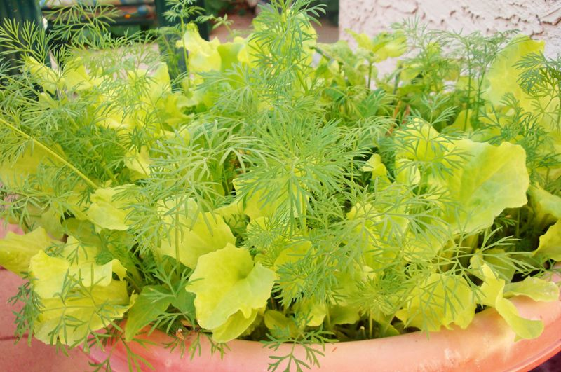 Container Vegetable Gardening Terracotta Pot Dill
