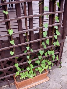 Container Vegetable Gardening Pea Vine Trellis