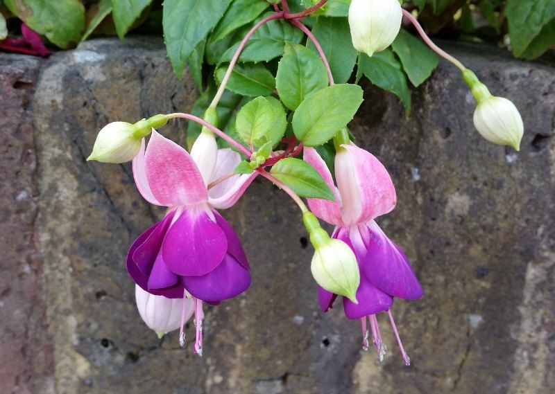 Fuchsia Small Flower Garden