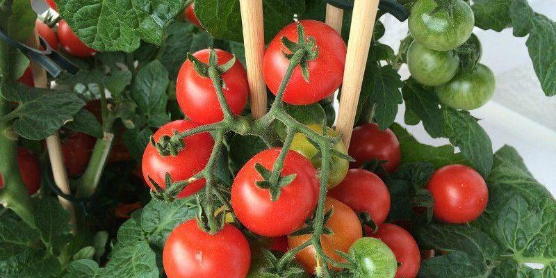 Garden Tomato Plants
