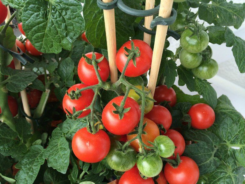 Garden Tomato Plants Garden Planting Journal