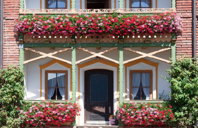 Geraniums for Window Planters