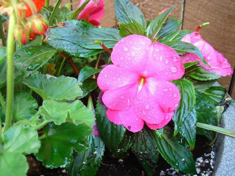 Impatiens Small Flower Garden