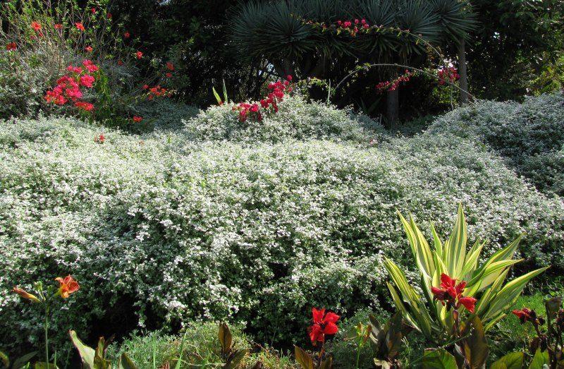 Growing Licorice Plants