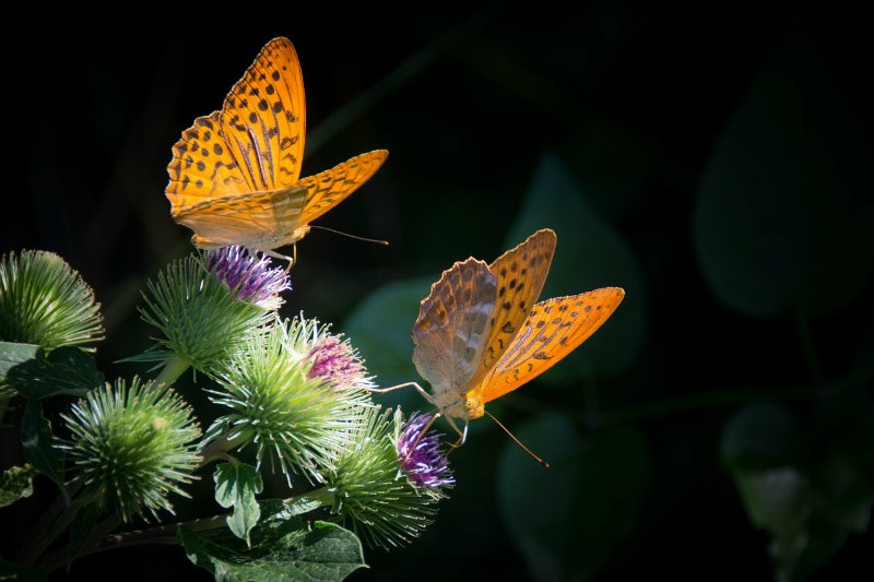 Summer Gardens for Butterflies Silver Bordered Fritillary
