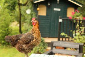 Container Vegetable Gardening Backyard Chicken
