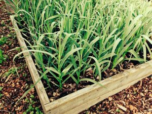 Container Vegetable Gardening Garlic Raised Bed